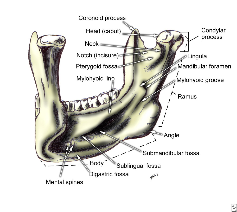 image gallery submandibular fossa
